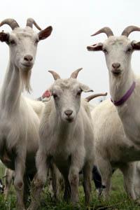 Goat_Milk.jpg