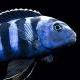 Malawi_fish